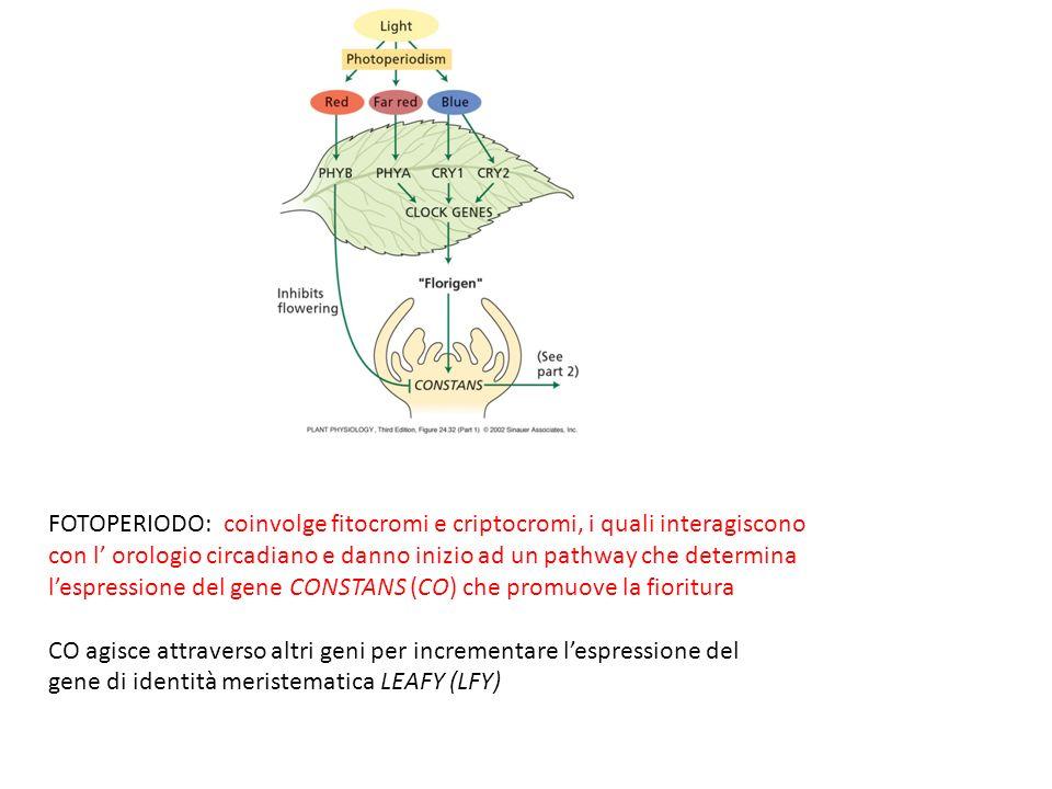 FOTOPERIODO: coinvolge fitocromi e criptocromi, i quali interagiscono