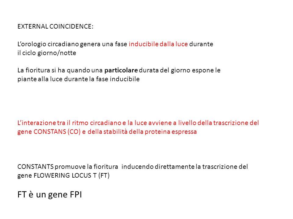 FT è un gene FPI EXTERNAL COINCIDENCE:
