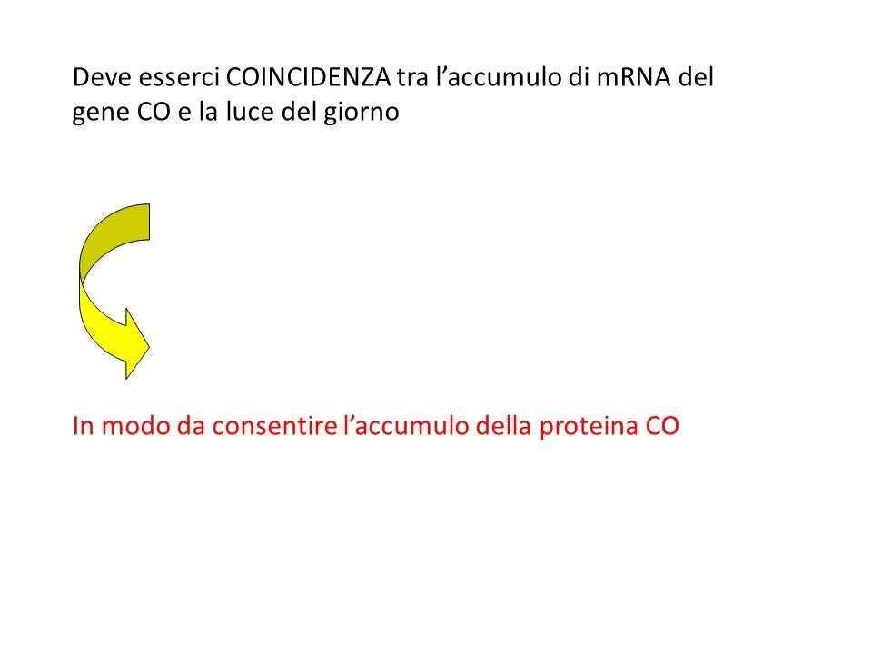 Deve esserci COINCIDENZA tra l'accumulo di mRNA del