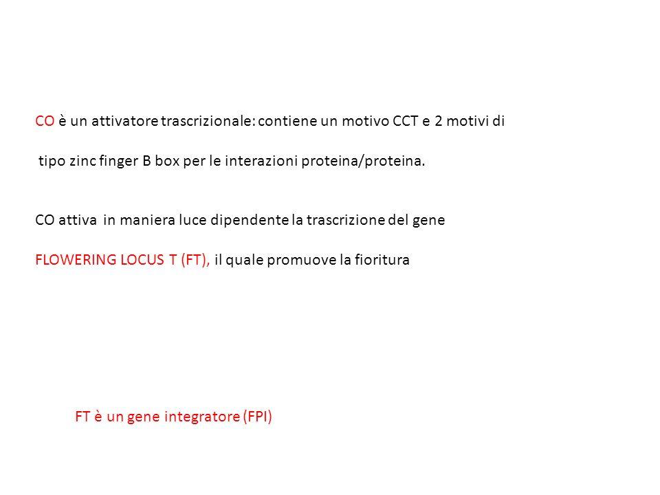 CO è un attivatore trascrizionale: contiene un motivo CCT e 2 motivi di