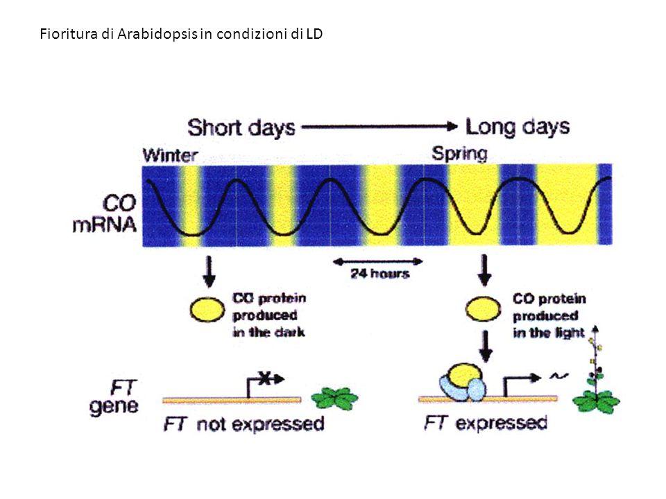 Fioritura di Arabidopsis in condizioni di LD