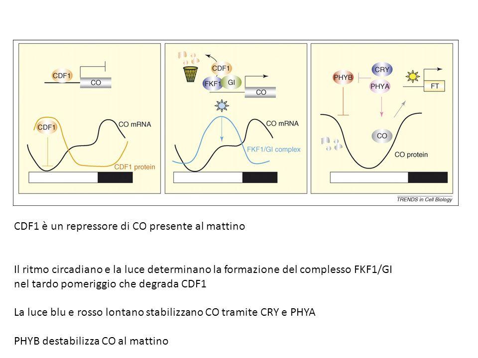 CDF1 è un repressore di CO presente al mattino