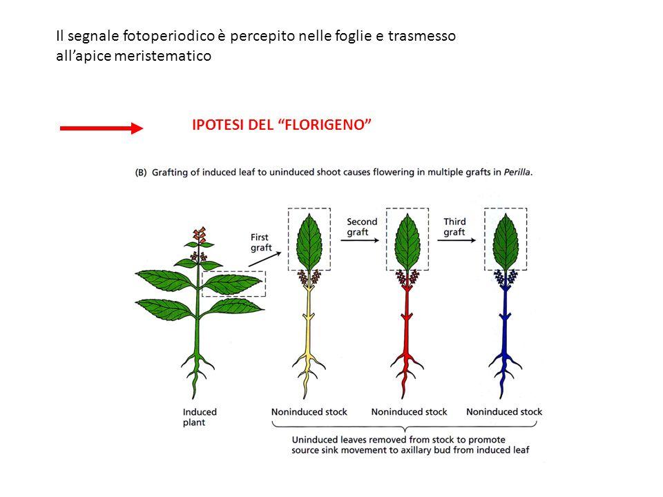 Il segnale fotoperiodico è percepito nelle foglie e trasmesso