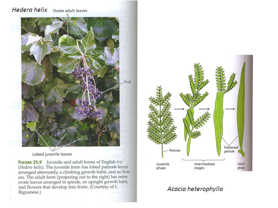Hedera helix Acacia heterophylla