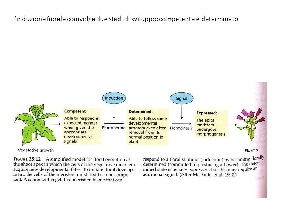 L'induzione fiorale coinvolge due stadi di sviluppo: competente e determinato