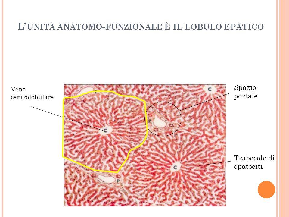 L'unità anatomo-funzionale è il lobulo epatico