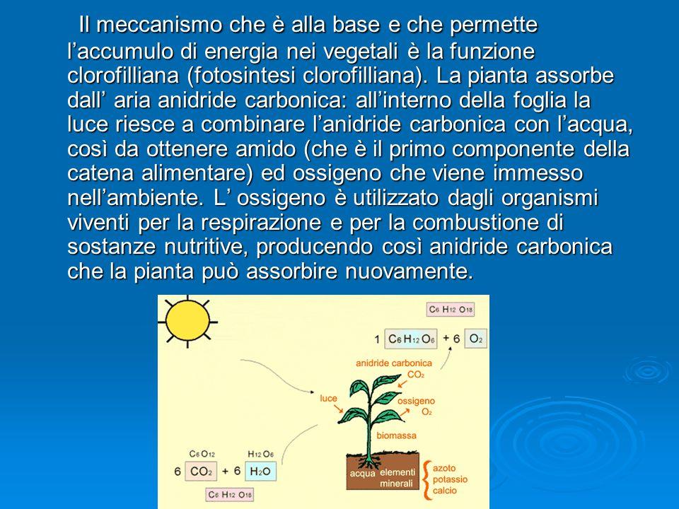 Il meccanismo che è alla base e che permette l'accumulo di energia nei vegetali è la funzione clorofilliana (fotosintesi clorofilliana).
