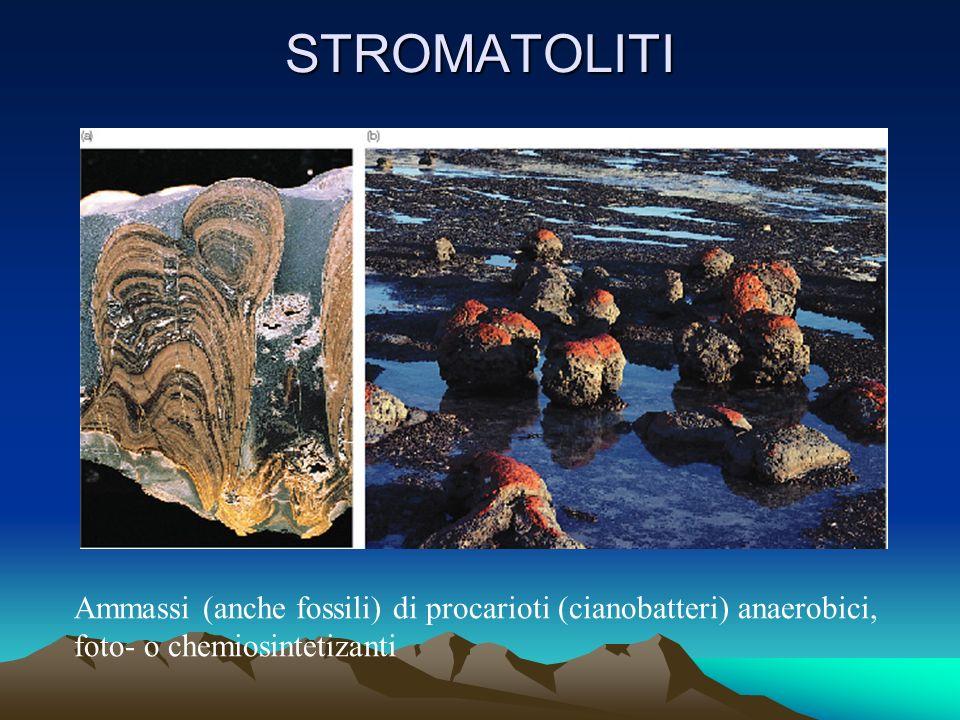 STROMATOLITI Ammassi (anche fossili) di procarioti (cianobatteri) anaerobici, foto- o chemiosintetizanti.