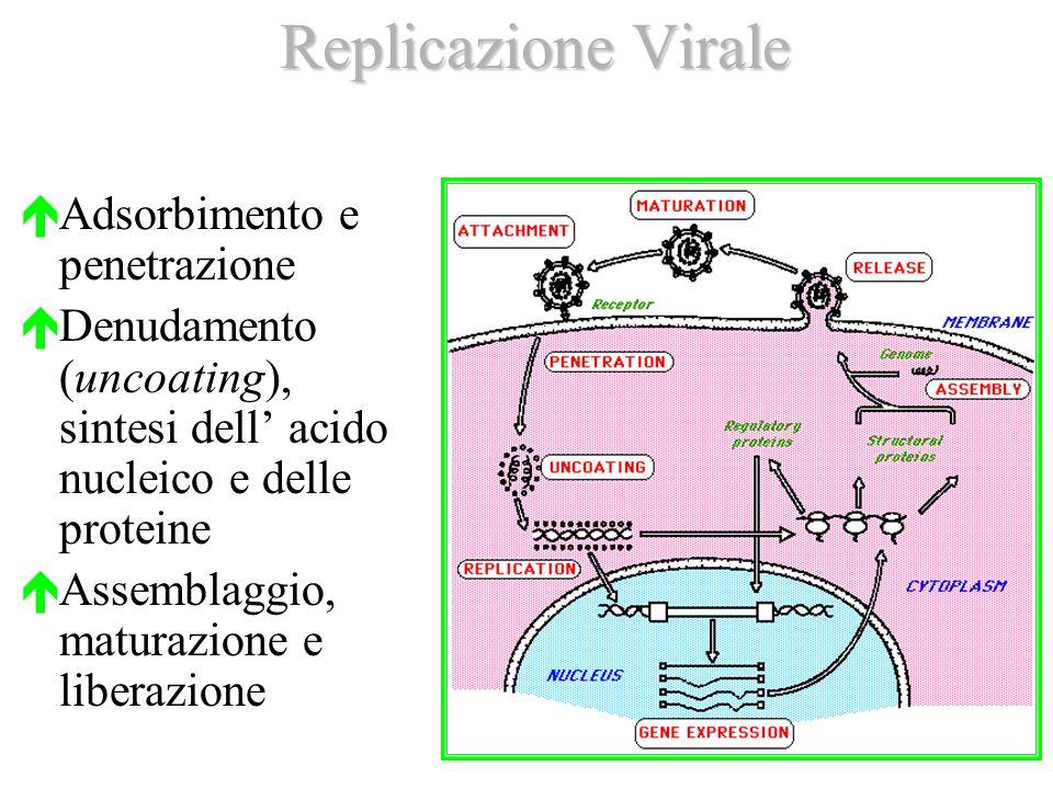 Replicazione Virale Adsorbimento e penetrazione