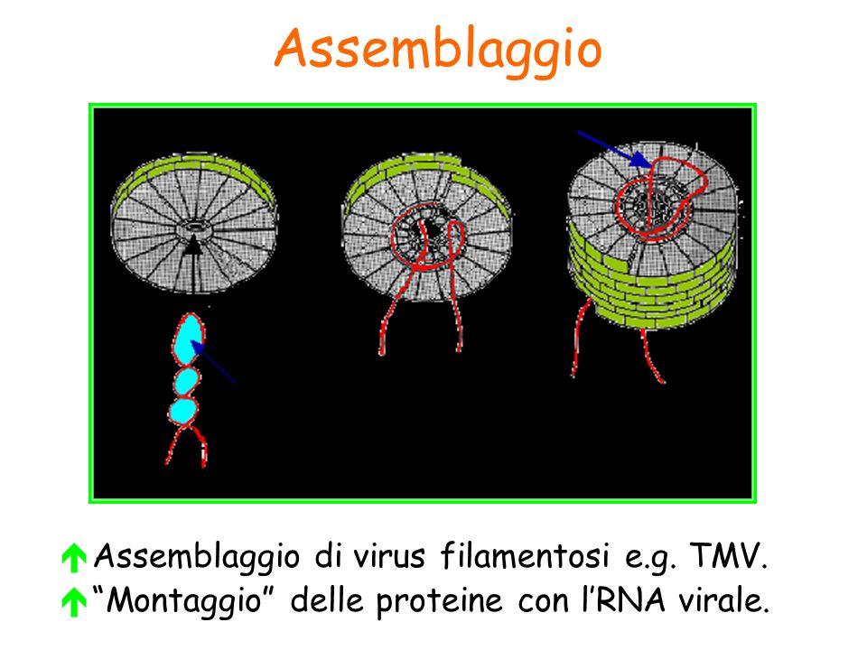 Assemblaggio Assemblaggio di virus filamentosi e.g. TMV.