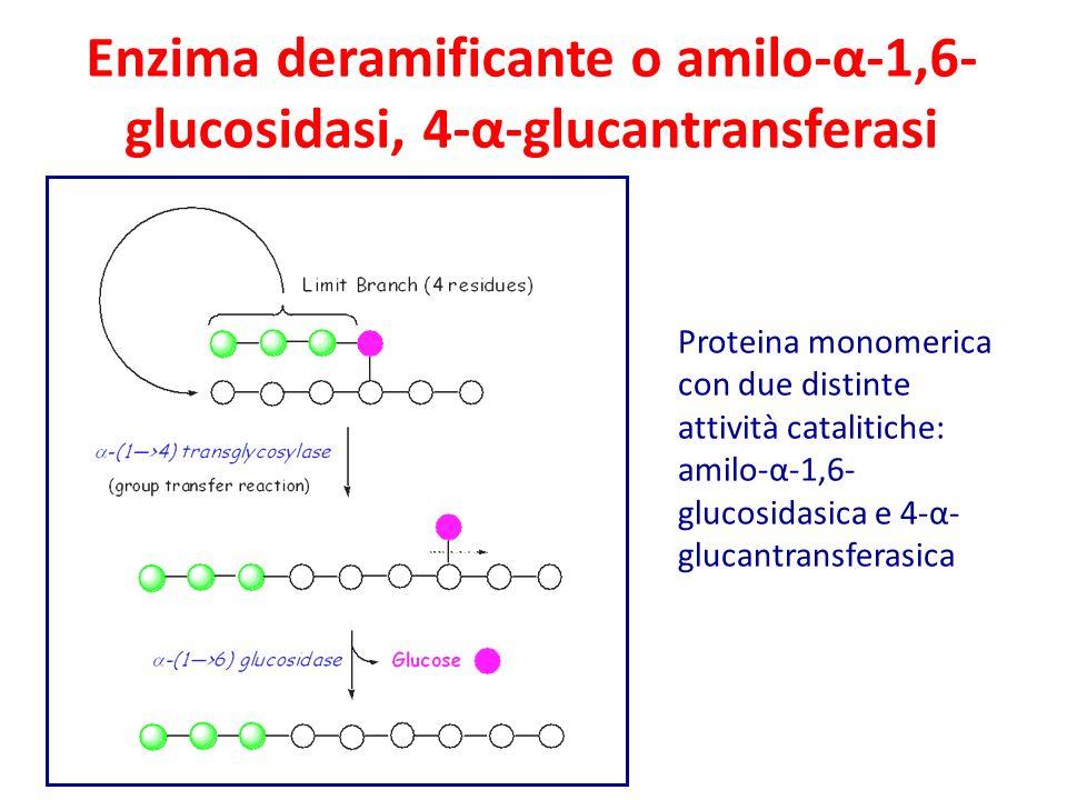 Enzima deramificante o amilo-α-1,6-glucosidasi, 4-α-glucantransferasi