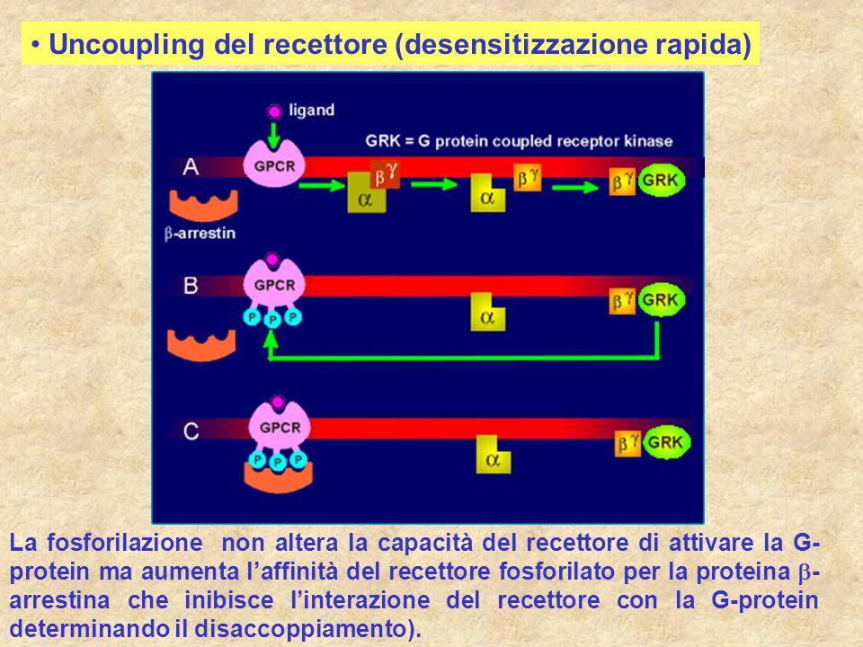 Uncoupling del recettore (desensitizzazione rapida)