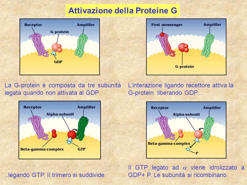 Attivazione della Proteine G