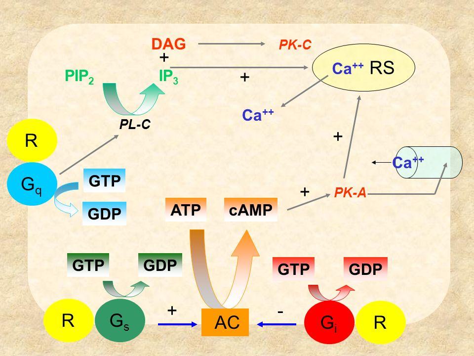 + + R + Gq + Gi R R Gs + - AC DAG Ca++ RS PIP2 IP3 Ca++ Ca++ GTP GDP