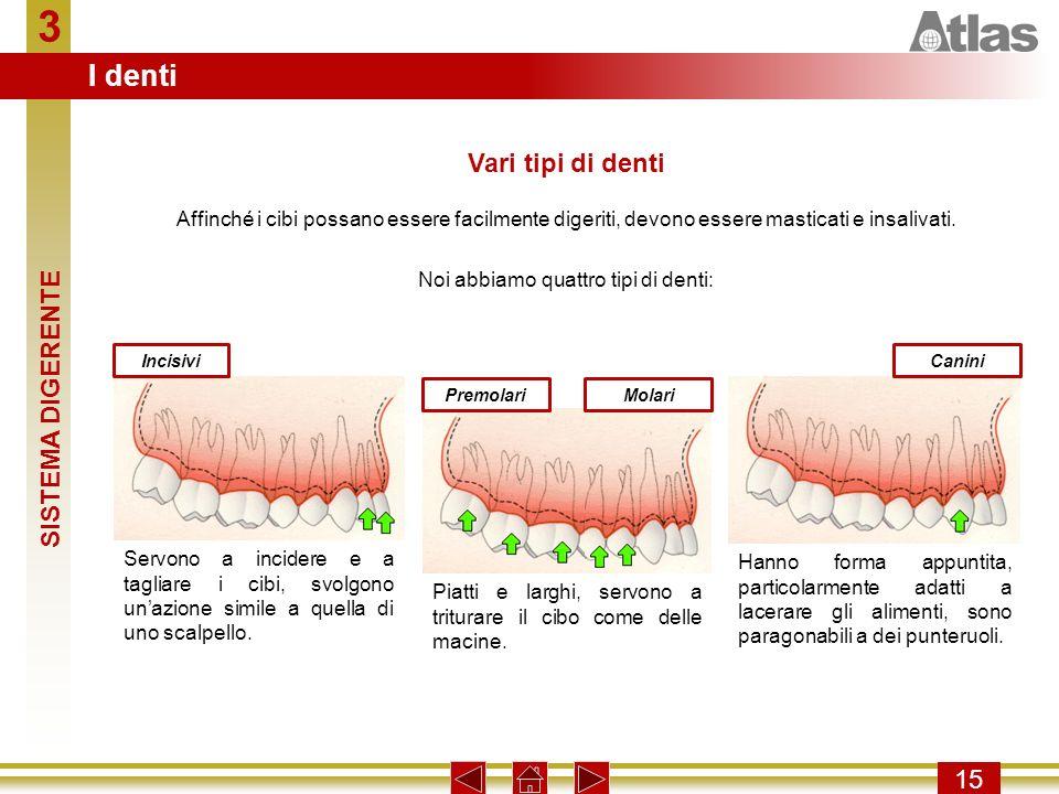 Noi abbiamo quattro tipi di denti: