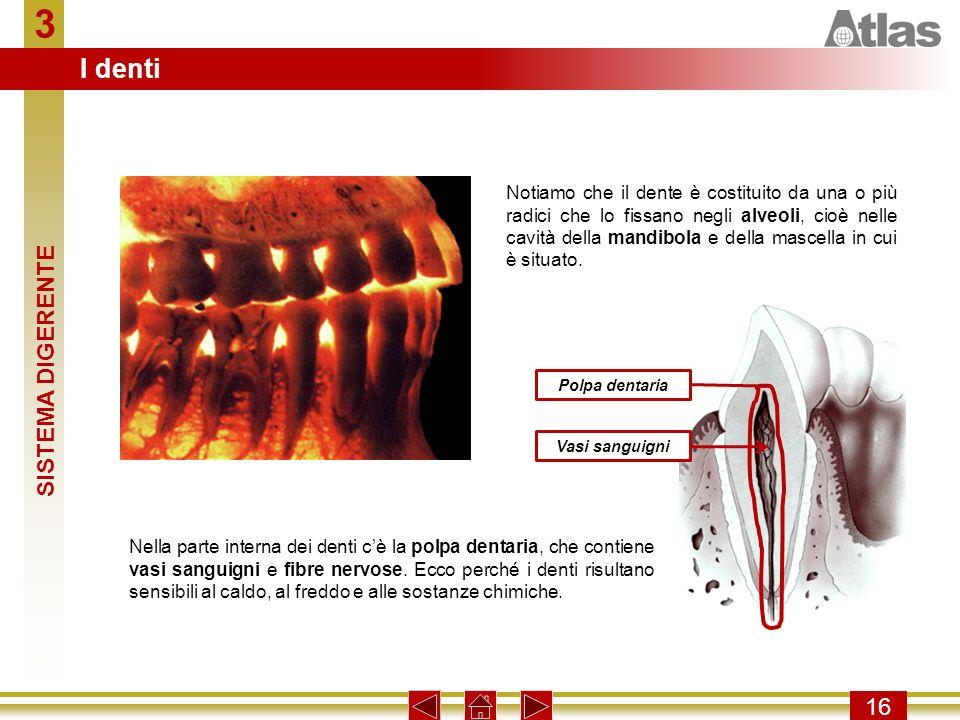 3 I denti SISTEMA DIGERENTE 16