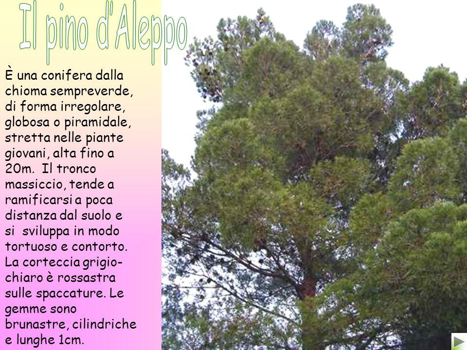 Il pino d'Aleppo