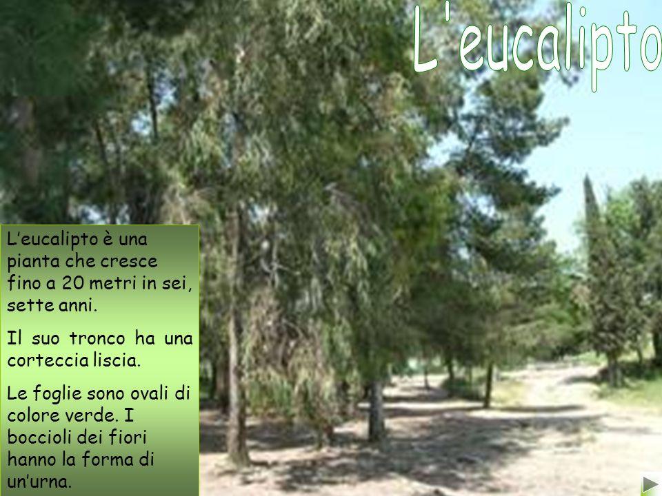 L eucalipto L'eucalipto è una pianta che cresce fino a 20 metri in sei, sette anni. Il suo tronco ha una corteccia liscia.