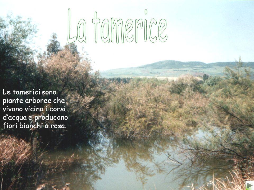 La tamerice Le tamerici sono piante arboree che vivono vicino i corsi d'acqua e producono fiori bianchi o rosa.