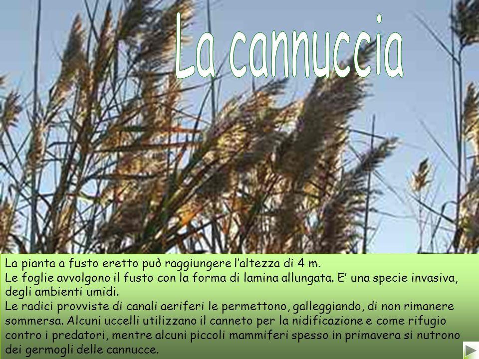 La cannuccia La pianta a fusto eretto può raggiungere l'altezza di 4 m.