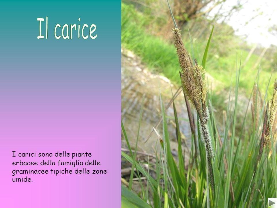 Il carice I carici sono delle piante erbacee della famiglia delle graminacee tipiche delle zone umide.