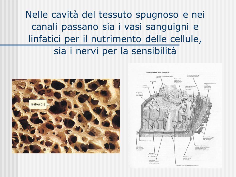 Nelle cavità del tessuto spugnoso e nei canali passano sia i vasi sanguigni e linfatici per il nutrimento delle cellule, sia i nervi per la sensibilità