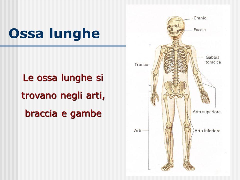 Le ossa lunghe si trovano negli arti, braccia e gambe