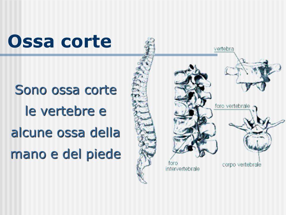 Sono ossa corte le vertebre e alcune ossa della mano e del piede