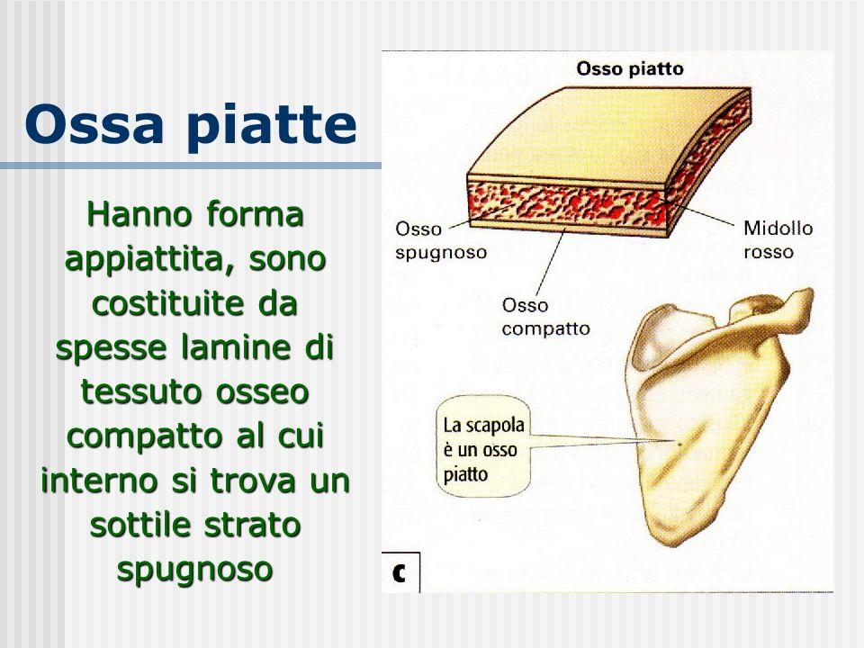Ossa piatte Hanno forma appiattita, sono costituite da spesse lamine di tessuto osseo compatto al cui interno si trova un sottile strato spugnoso.