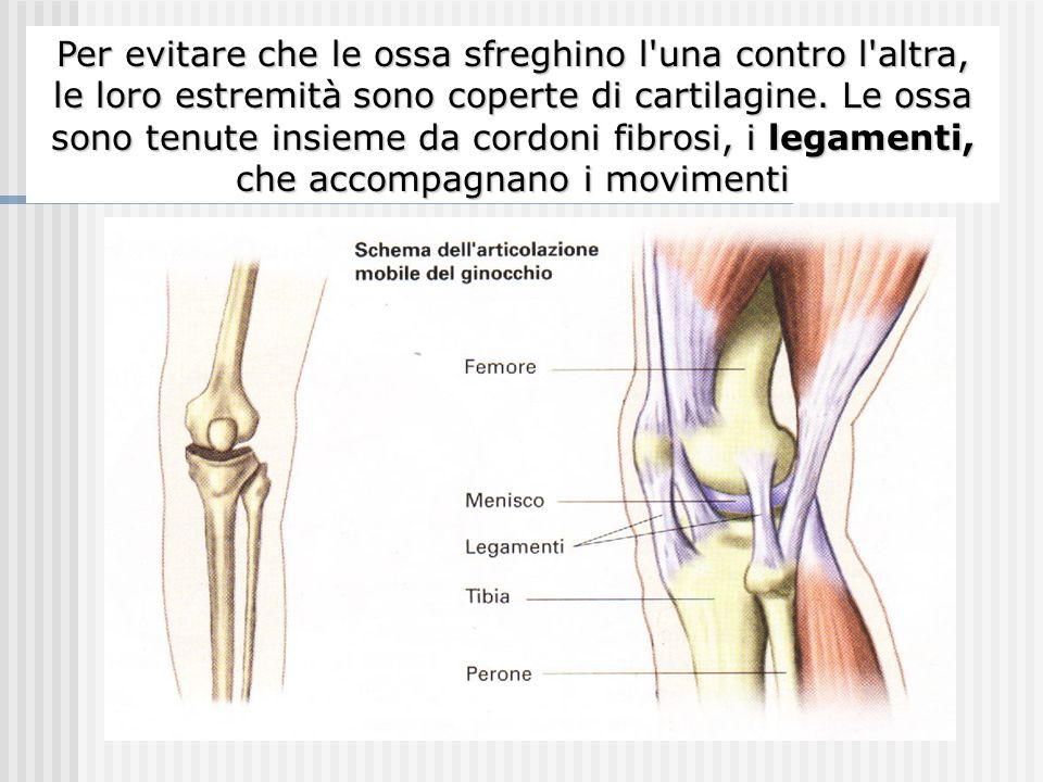 I punti di giunzione tra due ossa vicine si chiamano articolazioni