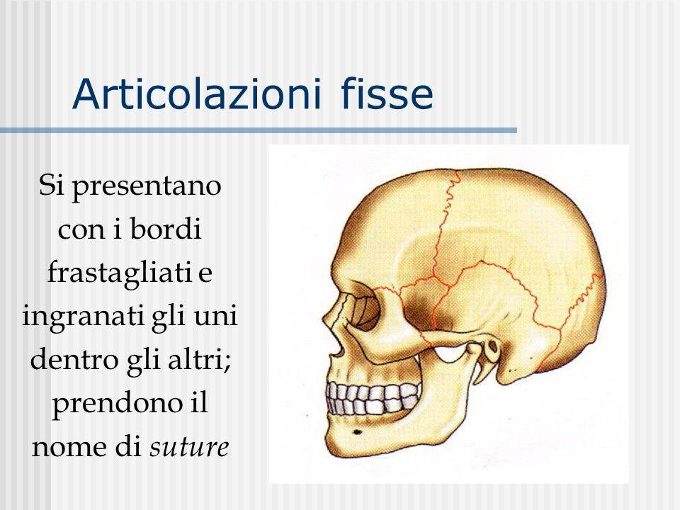 Articolazioni fisse Si presentano con i bordi frastagliati e ingranati gli uni dentro gli altri; prendono il nome di suture.
