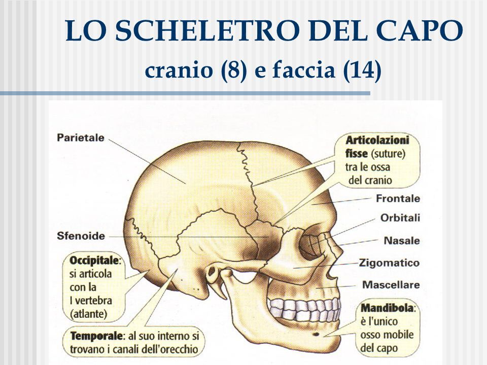 LO SCHELETRO DEL CAPO cranio (8) e faccia (14)