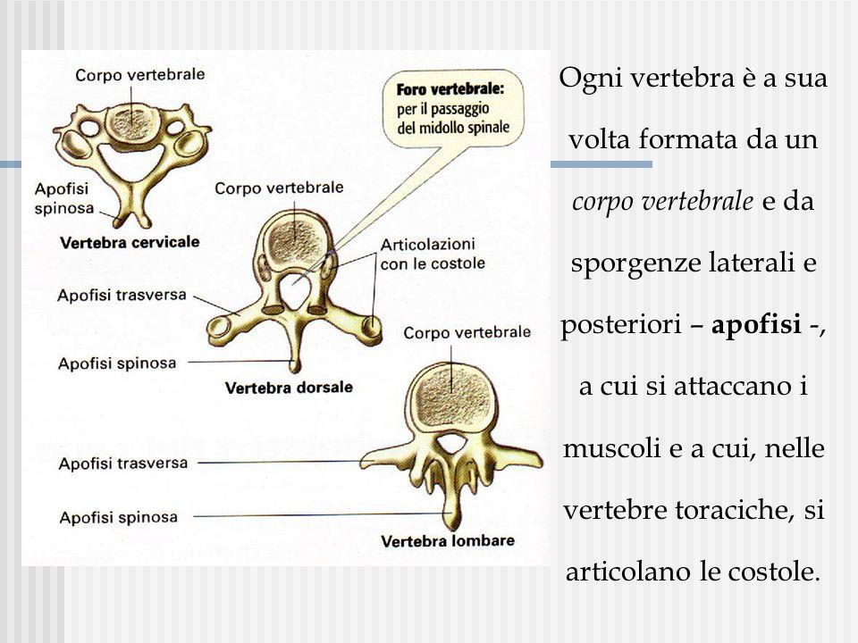 Ogni vertebra è a sua volta formata da un corpo vertebrale e da sporgenze laterali e posteriori – apofisi -, a cui si attaccano i muscoli e a cui, nelle vertebre toraciche, si articolano le costole.