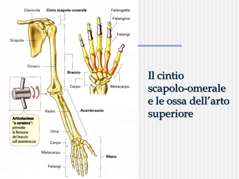 Il cintio scapolo-omerale e le ossa dell'arto superiore