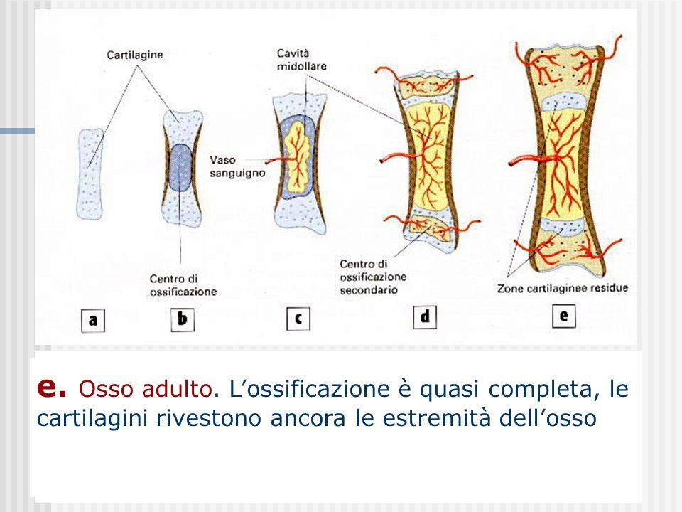 c. Nello stesso periodo nel nuovo centro di ossificazione si forma una cavità midollare presto invasa dai vasi sanguigni e dalle fibre nervose. Le estremità dell'osso rimangono di cartilagine per consentire l'accrescimento.