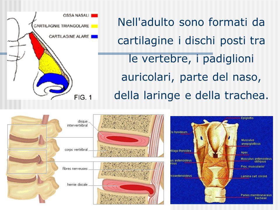 Nell adulto sono formati da cartilagine i dischi posti tra le vertebre, i padiglioni auricolari, parte del naso, della laringe e della trachea.