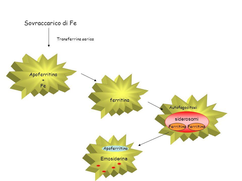 Sovraccarico di Fe Apoferritina + Fe ferritina siderosomi Emosiderina