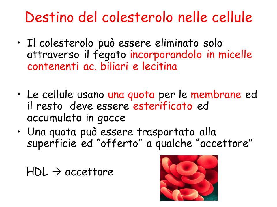 Destino del colesterolo nelle cellule