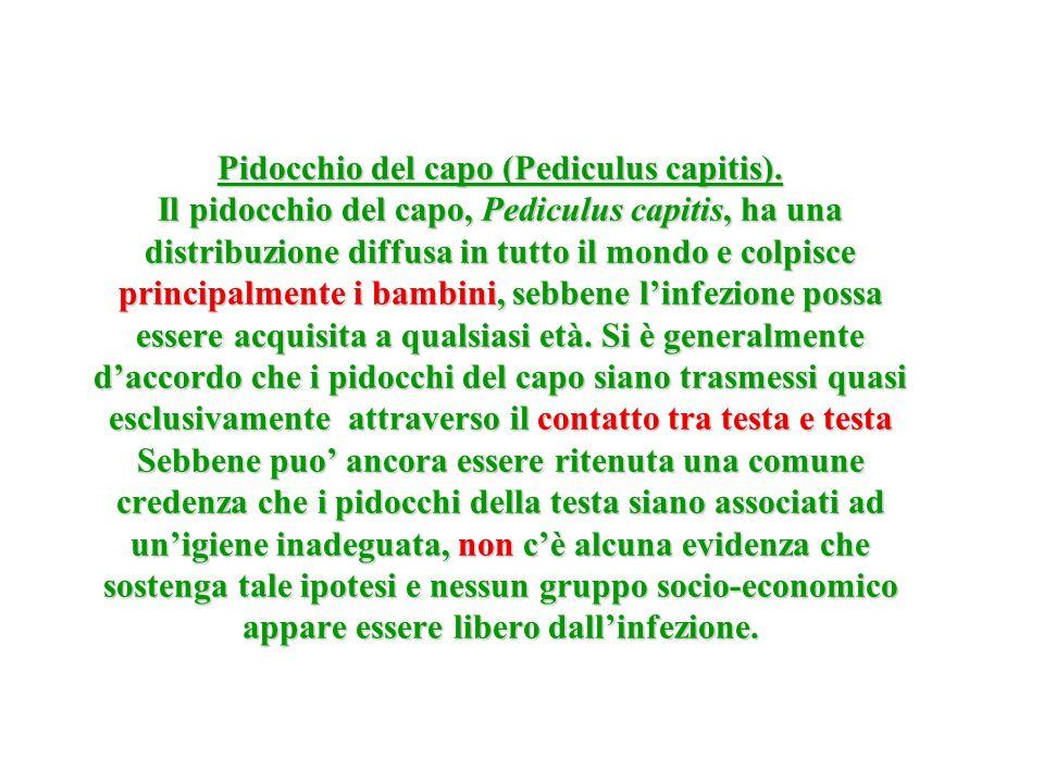 Pidocchio del capo (Pediculus capitis)