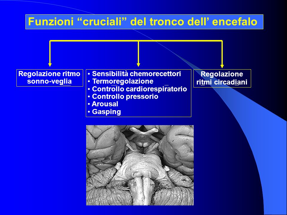Funzioni cruciali del tronco dell' encefalo
