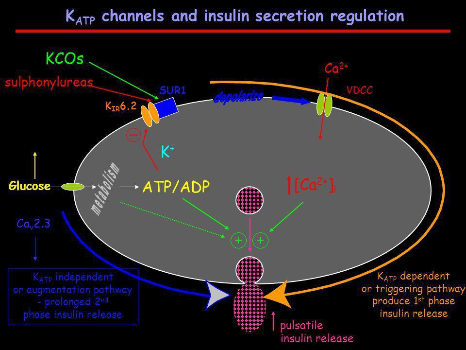 KATP channels and insulin secretion regulation