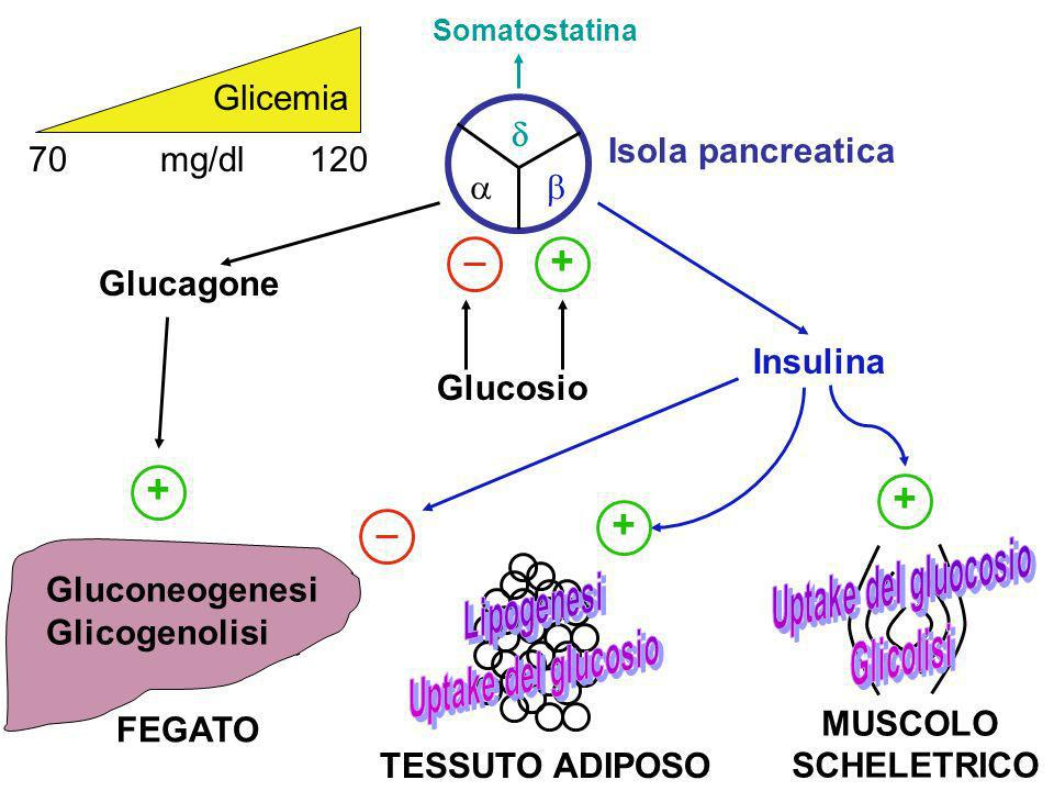 + + + + Glicemia  Isola pancreatica 70 mg/dl 120   Glucagone