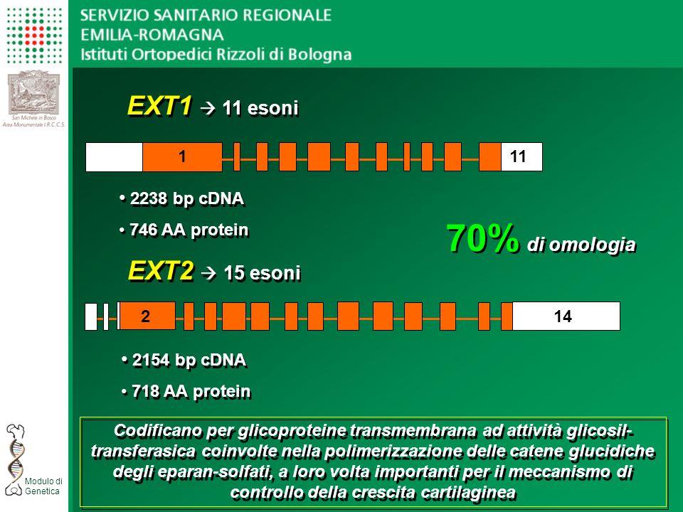 70% di omologia EXT1  11 esoni EXT2  15 esoni 2238 bp cDNA