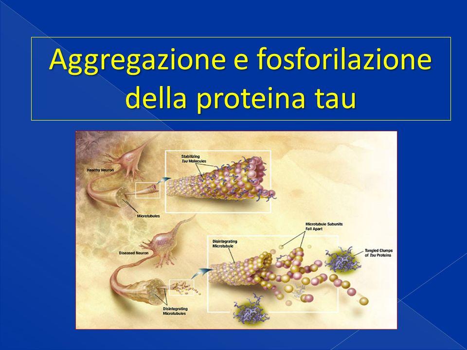 Aggregazione e fosforilazione della proteina tau