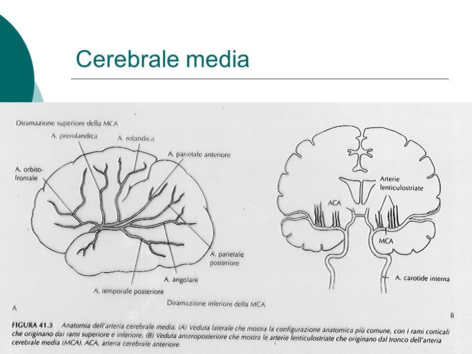 Cerebrale media
