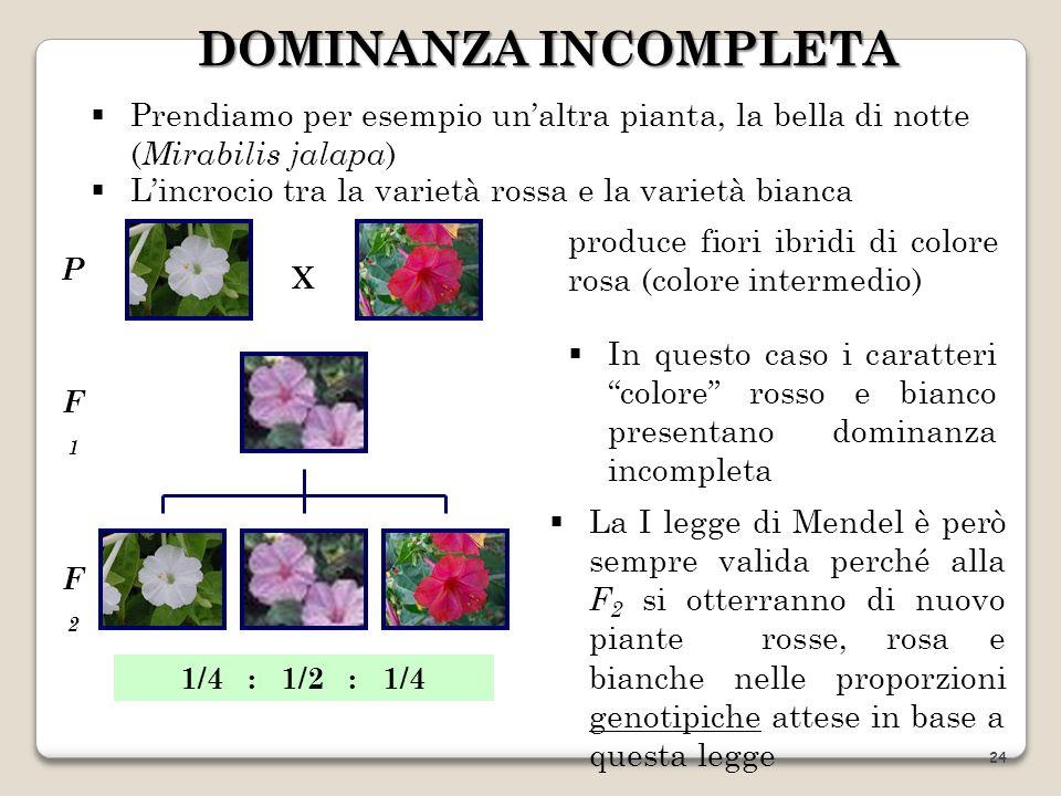 DOMINANZA INCOMPLETA Prendiamo per esempio un'altra pianta, la bella di notte (Mirabilis jalapa) L'incrocio tra la varietà rossa e la varietà bianca.