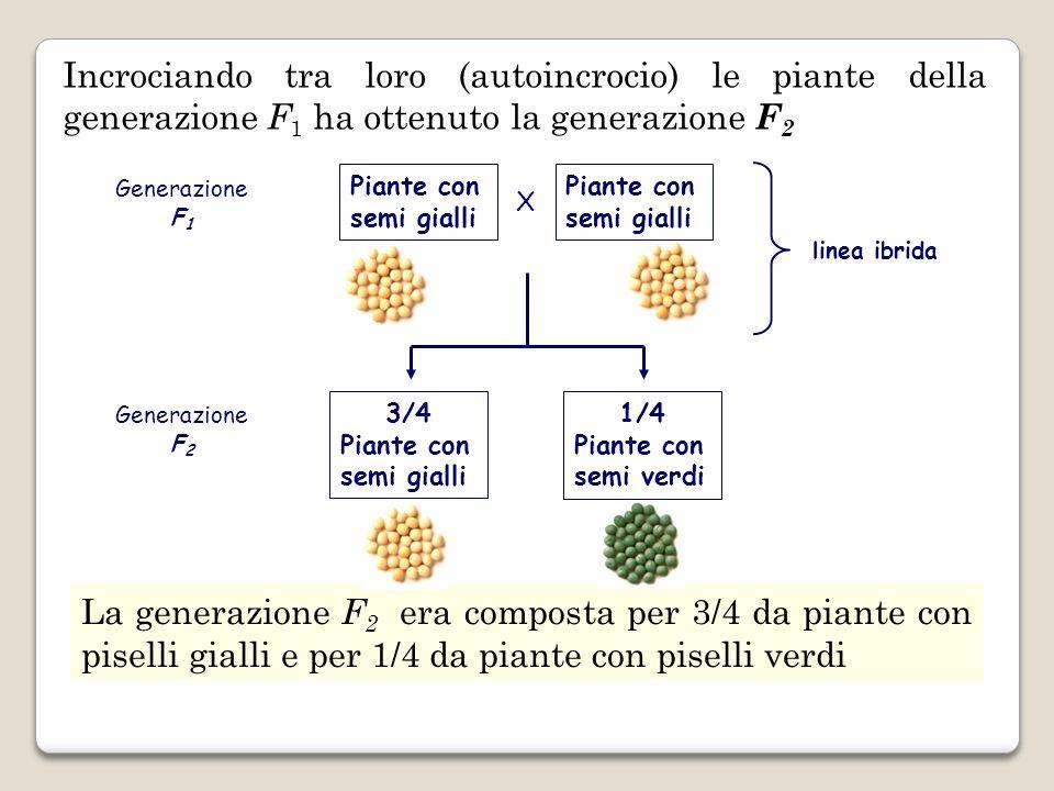 Incrociando tra loro (autoincrocio) le piante della generazione F1 ha ottenuto la generazione F2