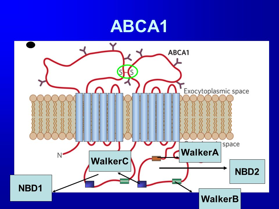 ABCA1 WalkerA WalkerC NBD2 NBD1 WalkerB