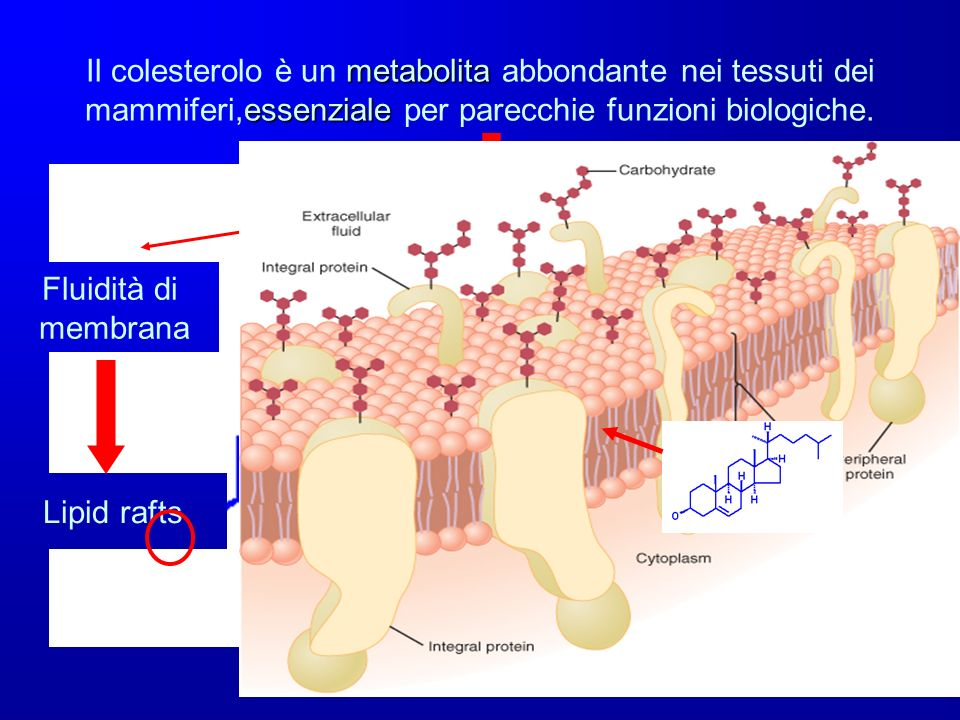 Il colesterolo è un metabolita abbondante nei tessuti dei mammiferi,essenziale per parecchie funzioni biologiche.