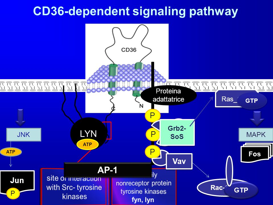 CD36-dependent signaling pathway